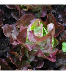 Salát hlávkový červený Rosemarry - Lactuca sativa - semena - 200 ks