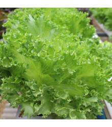 Salát kadeřavý letní - Lactuca sativa - semena - 450 ks