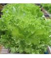 Salát kadeřavý letní - Lactusa sativa - semena - 0,5 gr