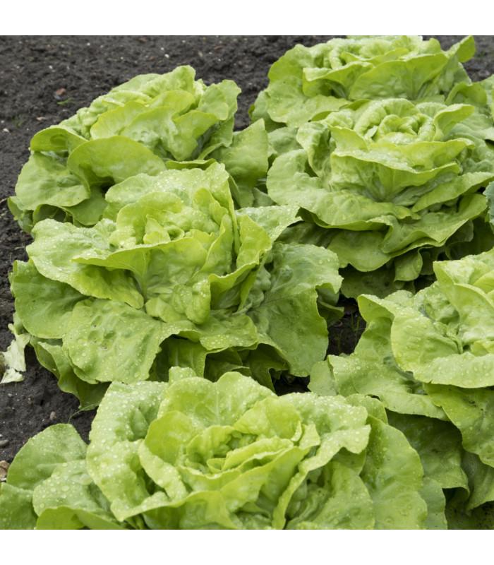 Salát hlávkový Attractie - Lactuca sativa - semena - 100 ks