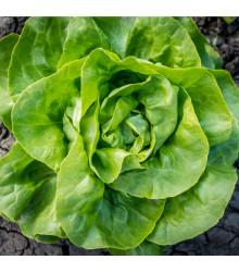 Salát hlávkový letní Kagraner - Lactuca sativa - semena - 300 ks