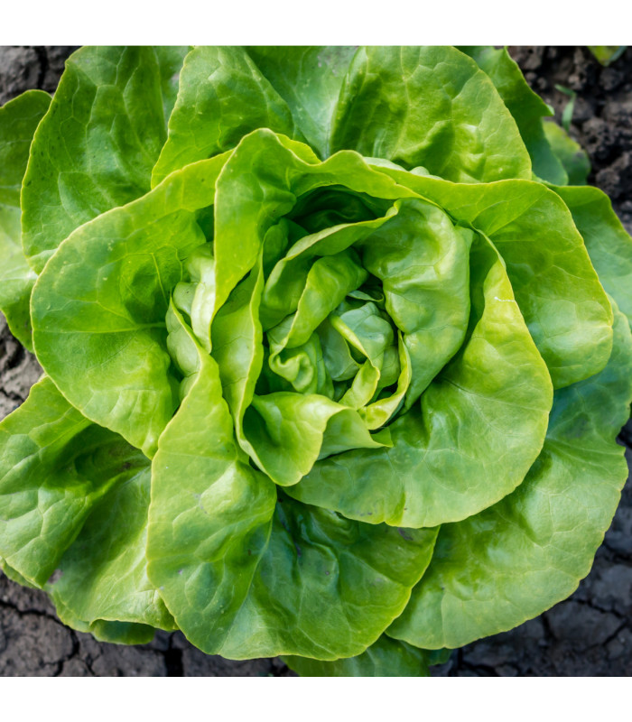 Salát hlávkový letní - Kagraner - Lactuca sativa - semena - 300 ks
