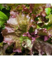 Salát trhací americký hnědý - Latuca sativa - semena - 450 ks