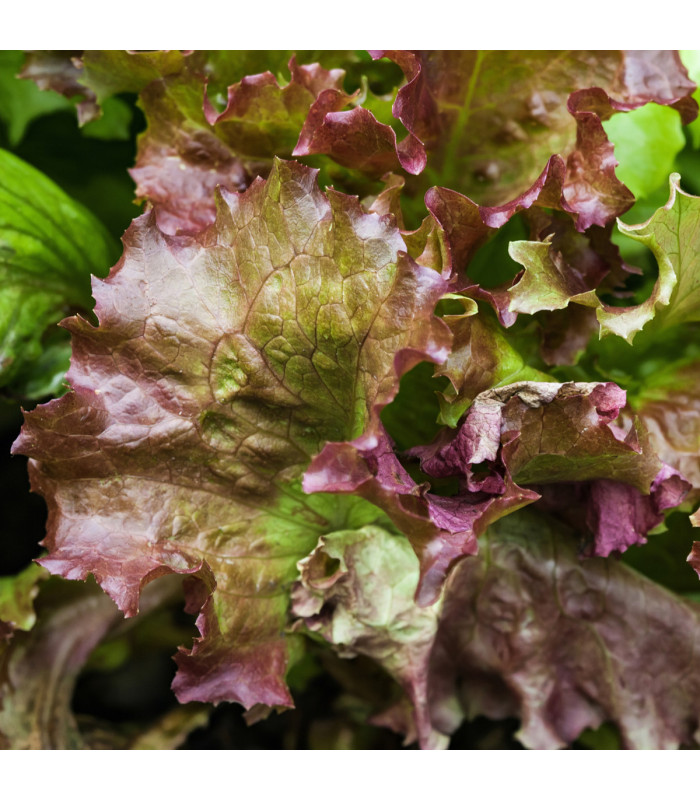 Salát trhací americký hnědý - Latusa sativa - semena - 0,5 gr