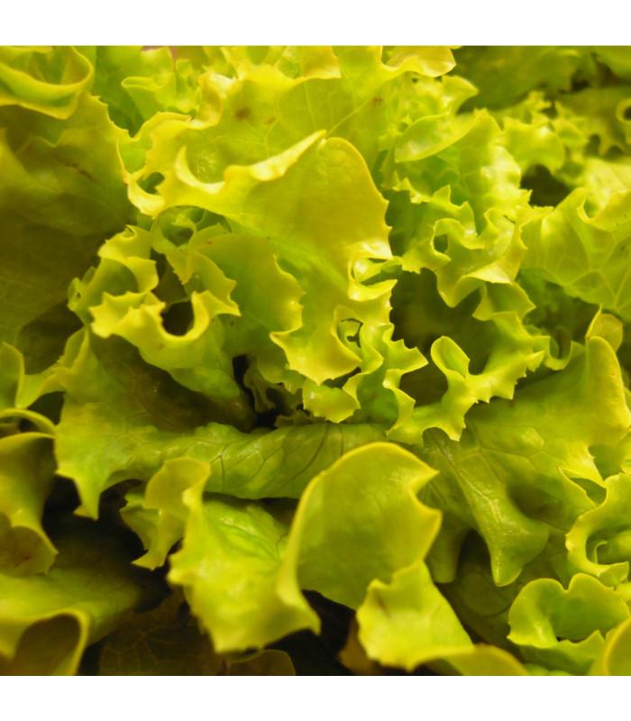 Salát hlávkový Maikönig - Lactusa sativa - semena - 1 gr