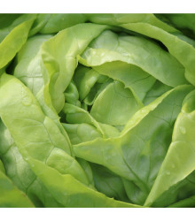 Salát ledový Ledové jezero - Lactuca sativa - semena - 100 ks