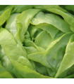 Salát ledový - Ledové jezero - Lactuca sativa - semena - 100 ks