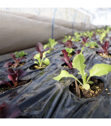 Salát na balkón Baby leaf - Lactuca sativa - semena - 100 ks