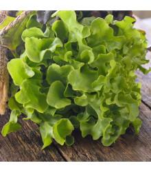 Salát listový Dubáček - Lactuca sativa - semena - 500 ks