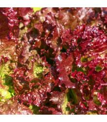 Salát červený kadeřavý - Lactuca sativa - semena - 1.000 ks semen