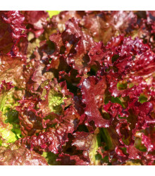 Salát červený kadeřavý - Lactuca sativa - semena - 900 ks semen