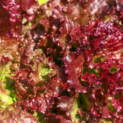 Salát červený kadeřavý - Lactuca sativa - semena -1 gr