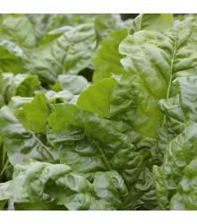 Mangold zelený Gewone - Beta vulgaris - semena mangoldu - 200 ks