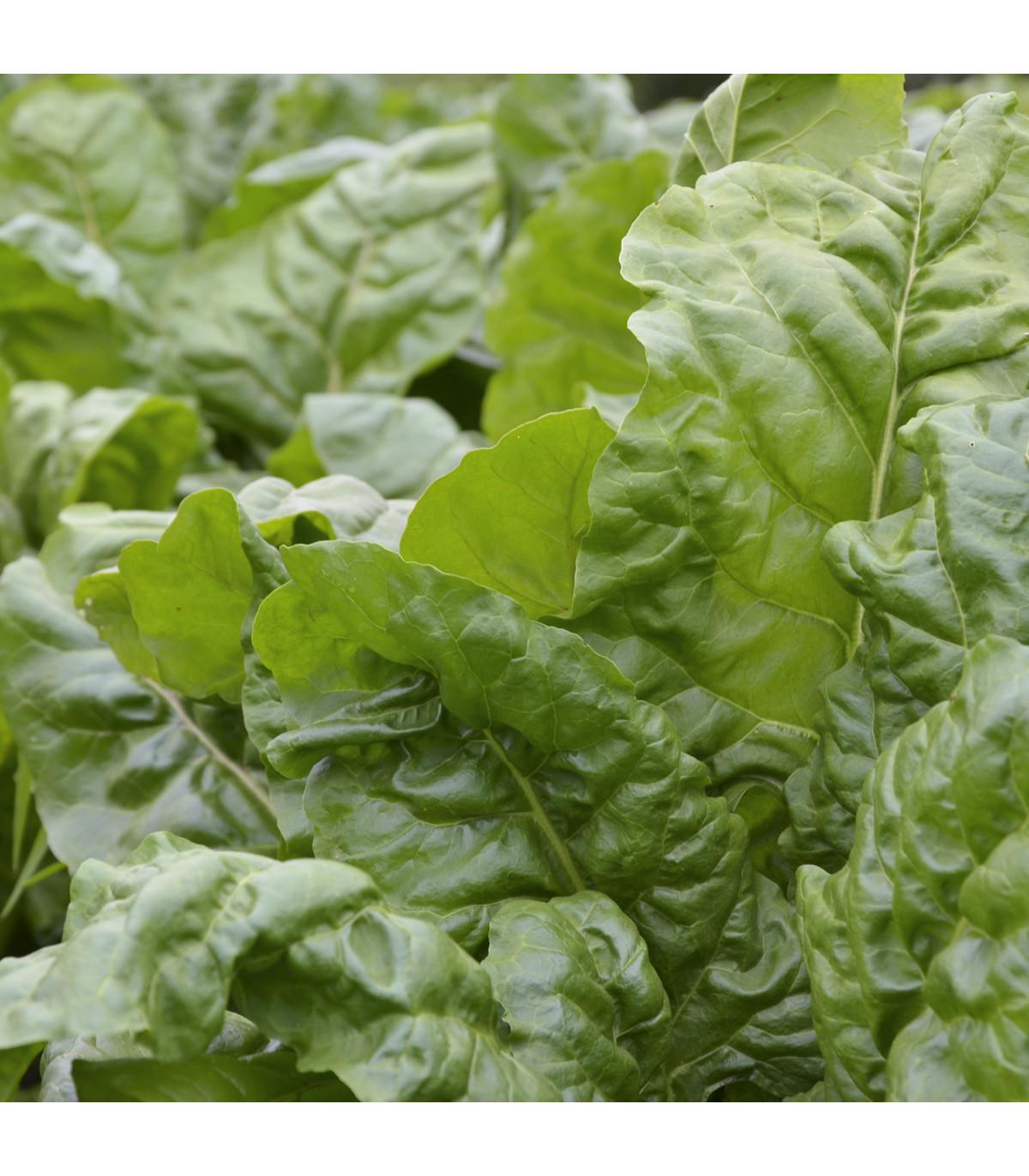 Mangold zelený Gewone - Beta vulgaris - semena - 200 ks