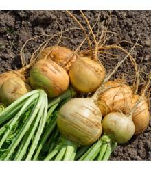 Tuřín Dalibor - Brassica napus var. napobrassica - semena - 250 ks