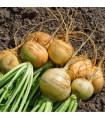Tuřín Dalibor - Brassica napus var. napobrassica - semena - 0,8 g