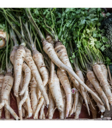 Pastiňák dlouhý bílý - semena - Pastinaca sativa -  1 g