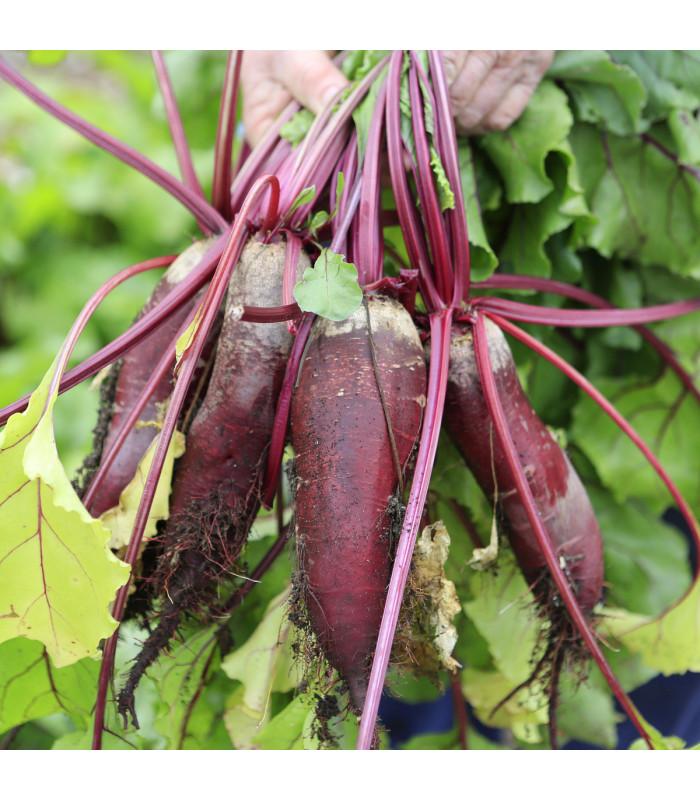 Řepa salátová Forono - Beta vulgaris - semena - 160 ks