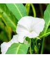 Povíjnice vodní - Špenát vodní - Ipomoea aquatic - semena - 0, 8 gr
