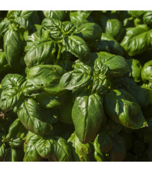 More about Špenát setý - Spinacia oleracea - semena - 1 g
