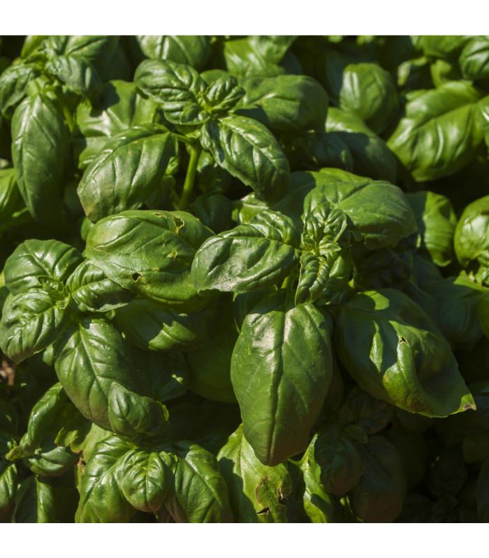 Špenát setý - Spinacia oleracea - semena - 1 g