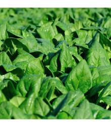 Špenát setý zelný Monnopa - Spinacia oleracea - semena - 100 ks