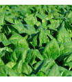 Špenát setý zelný Monnopa - Spinacia oleracea - semena - 1 g