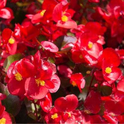 Begonie drobnokvětá červená - Begonia multiflora maxima - cibuloviny - 2 ks