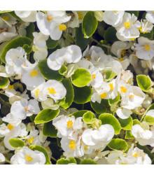Begonie drobnokvětá bílá - Begonia multiflora maxima - cibuloviny - 2 ks