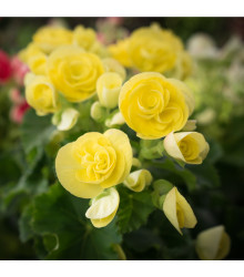 More about Begonie drobnokvětá žlutá - Begonia multiflora maxima - cibuloviny - 2 ks