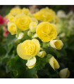 Begónie drobnokvětá žlutá - Begonia multiflora maxima - prodej cibulovin - 2 ks