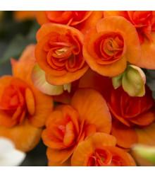 Begonie drobnokvětá oranžová - Begonia multiflora maxima - cibuloviny - 2 ks