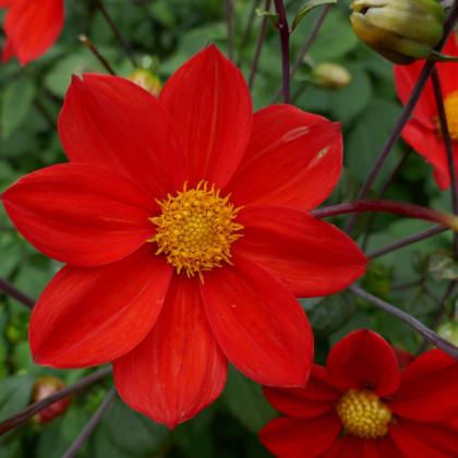 Jiřinka červená Topmix - Dahlia - cibuloviny - 1 ks