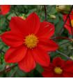Jiřinka červená topmix - Dahlie - cibuloviny - 1 ks