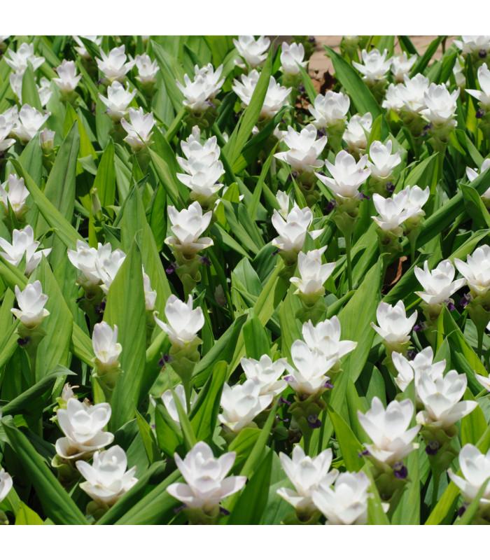 Kurkuma bílá - Curcuma alismatifolia - cibuloviny - 1 ks
