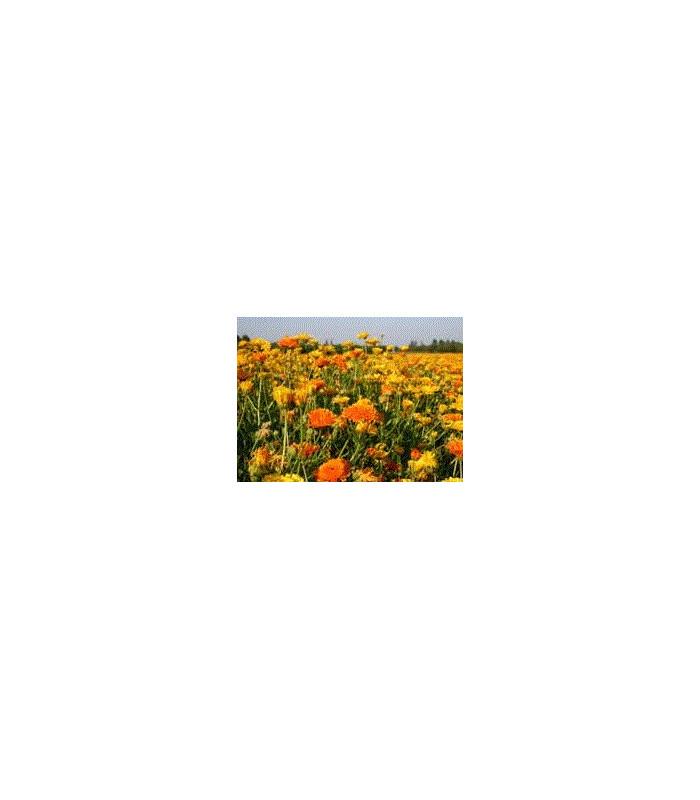 Směs letniček žlutých- semena letniček- 0,9 g