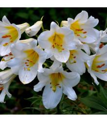 Královská lilie velkokvětá - Lilium Regale Album - cibuloviny - 1 Ks