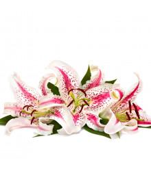 Lilie Dizzy - Lilium - cibule lilie - 1 ks