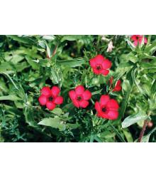 Len velkokvětý červený - Linum grandiflorum - semena - 140 ks