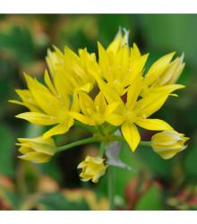 Česnek žlutý Moly - Allium Moly – cibuloviny - 3 ks
