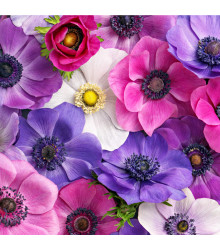 Sasanka plnokvětá směs barev - Anemone - cibuloviny - 3 ks