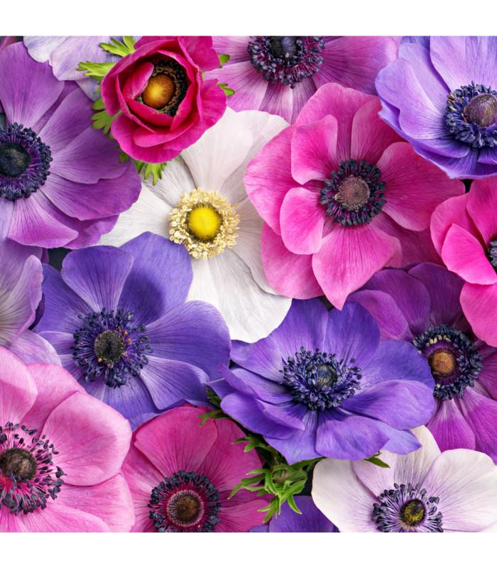 Sasanka plnokvětá - směs barev - Anemone - cibuloviny - 3 ks