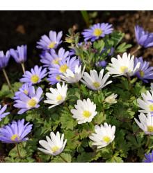 sasanka rozkošná - Anemone blanda