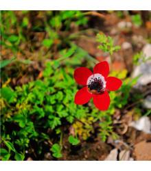 Sasanka Hollandia - Anemone - cibuloviny - 3 ks