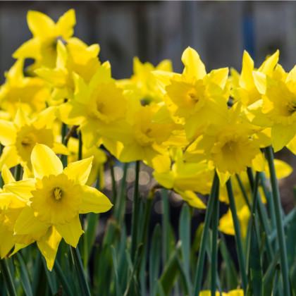 Narcis Dutch master - Narcissus - cibuloviny - 3 ks