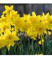 Narcis trubkovitý Holandský master - prodej cibulovin - 2 ks
