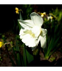 Narcis Rippling Waters - Narcissus L. - cibuloviny - 3 ks