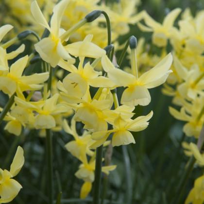 Narcis Hawera - Narcissus Hawera - cibuloviny - 3 ks
