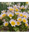 Tulipán skalní - Tulipán saxatilis - prodej holandských cibulovin - 3 ks