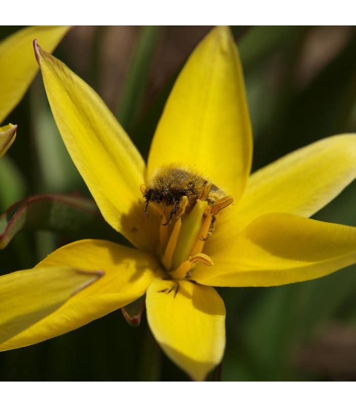 Tulipán Urumiensis - koupit cibule - holandské nízké tulipány - prodej cibulovin - 3 ks